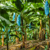 베트남 의 바나나